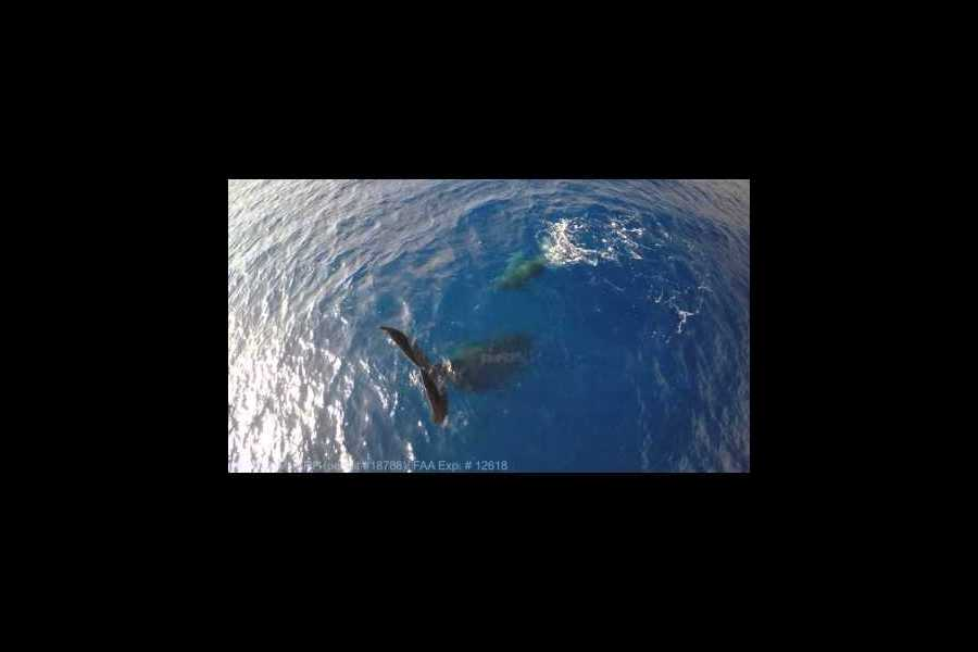 Why was a humpback whale caught in a headstand?